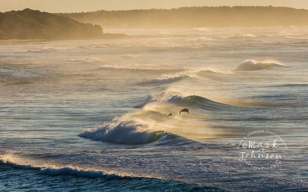 Dolphins surfing the waves off of Yuraygir National Park, NSW, Australia