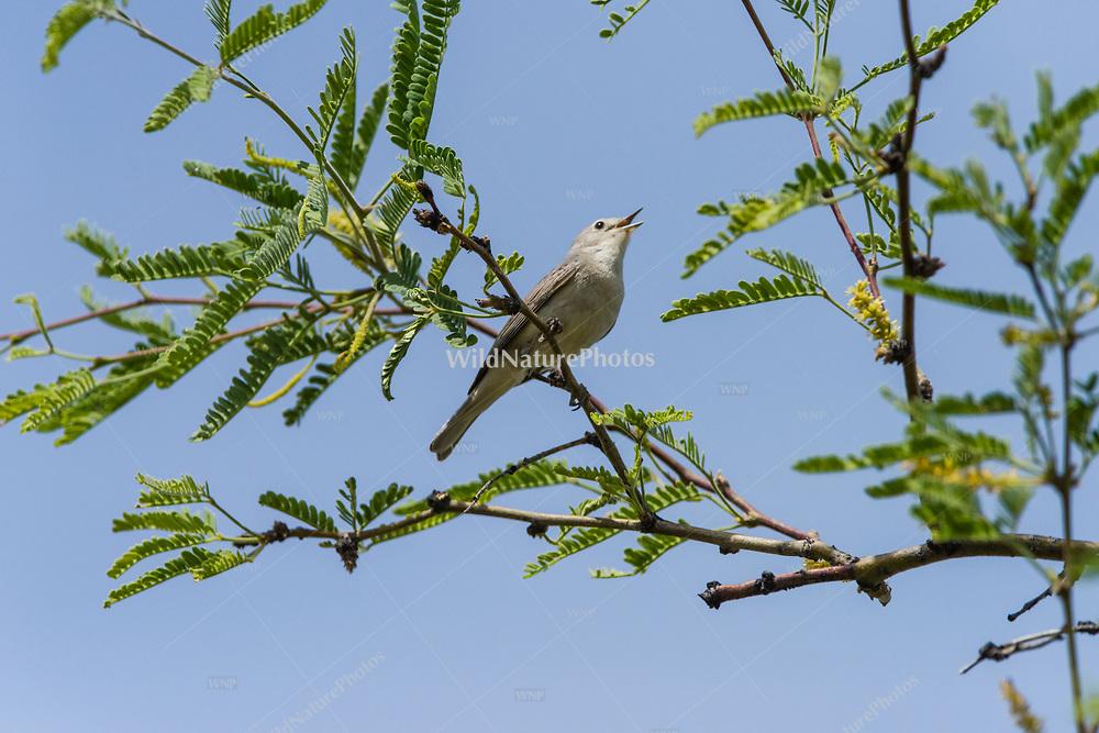 Lucy's Warbler (Vermivora luciae) male singing in a Velvet Mesquite (Prosopis velutina) in the Sonoran Desert. (Arizona)