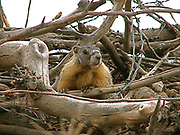 The yellow-bellied marmot (Marmota flaviventris), also known as the rock chuck, is a large, stout-bodied ground squirrel in the marmot genus