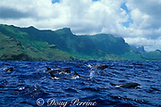 melon-headed whales, Peponocephala electra, Nuku Hiva, Marquesas, French Polynesia ( South Pacific Ocean )