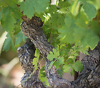 Vineyards in Sonoma, California are planted up the hillsides and in the valleys. Old Vines are prized for their rich abundant grapes.