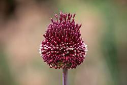 Allium amethystinum 'Red Mohican' - Amethyst allium