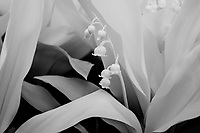 Infrared in the spring garden.  Lilies of the Valley.  ©2017 Karen Bobotas Photographer