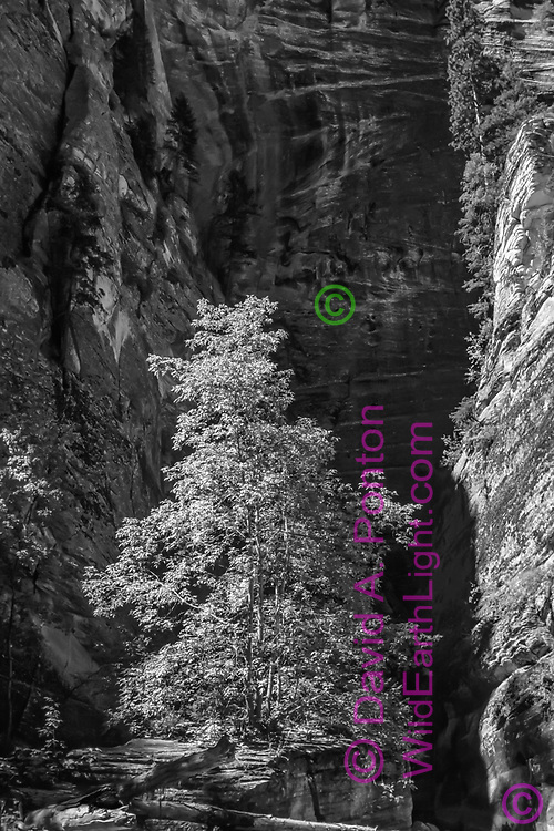 Big-toothed maple in the narrow canyon formed by the North Fork of the Virgin River grows from a crack in a rock formation elevated above the riverbed. © David A. Ponton