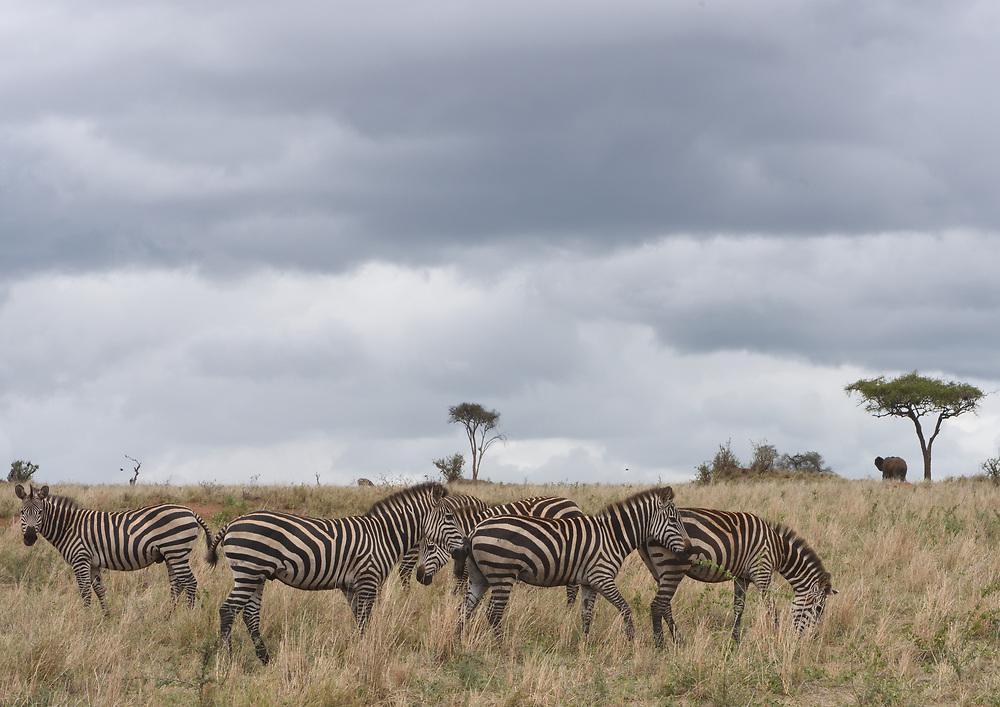 A group of plains zebra (Equus quagga, formerly Equus burchellii) grazing in the dry grass of the Tarangire National Park under a grey cloudy sky. Tarangire National Park, Tanzania.
