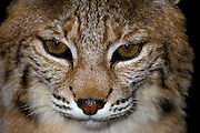A male bobcat (Felis rufus) Close-up portrait.