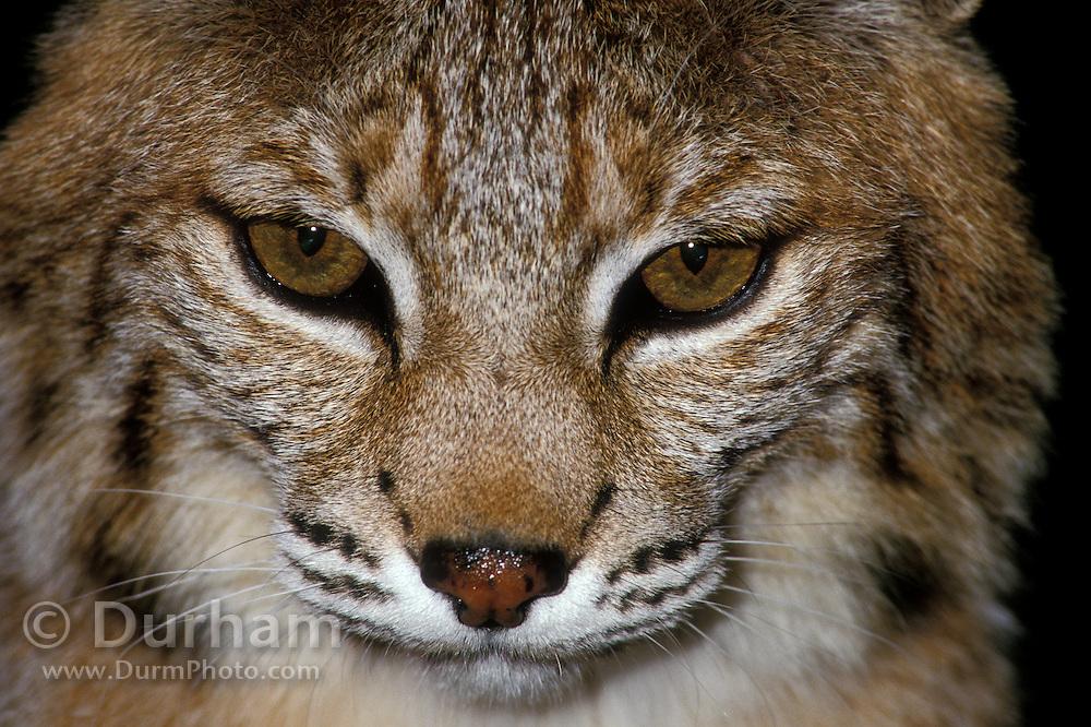 A male bobcat (Felis rufus) Close-up portrait.