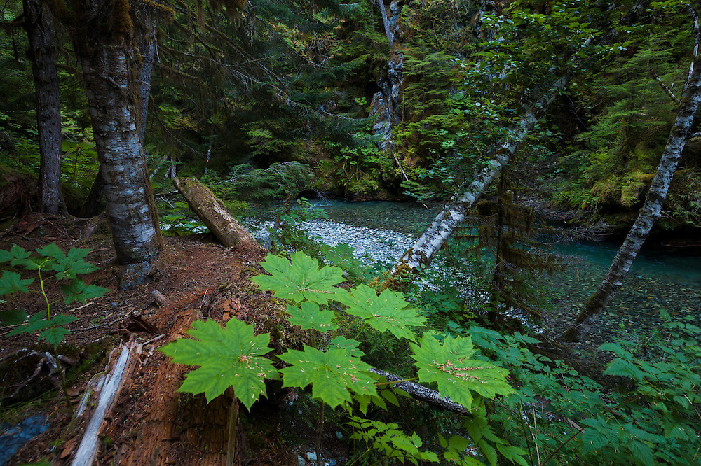 Lush forest on the bank of the Nooksack River, Mount Baker-Snoqualmie National Forest, Washington.