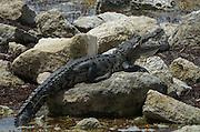 American Crocodile (Crocodylus acutus)<br /> Mahahual town<br /> Mahahaul Peninsula<br /> Mexico<br /> Central America