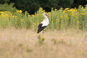 White stork (Ciconia ciconia) foraging on the ground. Sussex, UK.