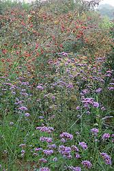 Autumn border with Verbena bonariensis and Rosa rubrifolia syn. R.glauca hips