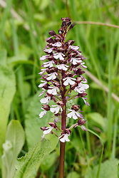 Purperorchis, Orchis purpurea