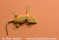 New Caledonian Crested Gecko, Rhacodactylus ciliatus, walking on wall.  Microscopic setae and spatulae on the gecko's feet allow it to walk on almost any surface.  Also called Guichenot's Giant Gecko or Eyelash Gecko.  Endemic to New Caledonia in the South Pacific, the crested gecko was thought extinct until it was rediscovered in 1994.  It is now one of the most commonly kept species of gecko in captivity.  .