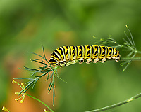 Caterpiller Eating My Dill. Image taken with a Fuji X-H1 camera and 80 mm f/2.8 macro lens.