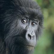 Mountain Gorilla (Gorilla gorilla beringei) portrait of a female.  Volcanoes National Park, Rwanda, Africa.