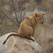 Young African lion cub on rock. South Africa
