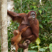 An orangutan mother with baby in Puting National Park. Central Kalimantan region, Borneo.