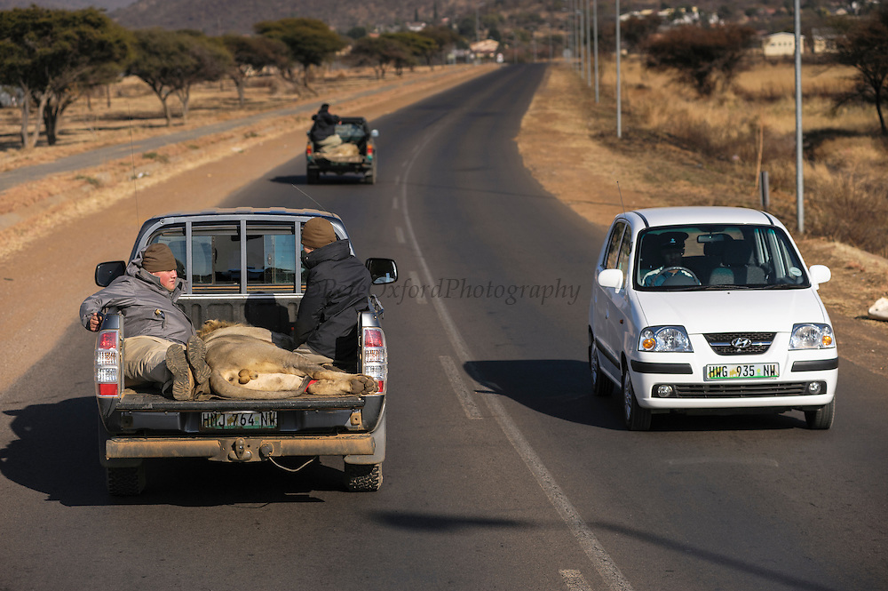 Lions darted for relocation to Malawi (Panthera leo) loaded onto truck for transportation to airfield<br /> Pilansberg Game Reserve<br /> North West Province<br /> SOUTH AFRICA