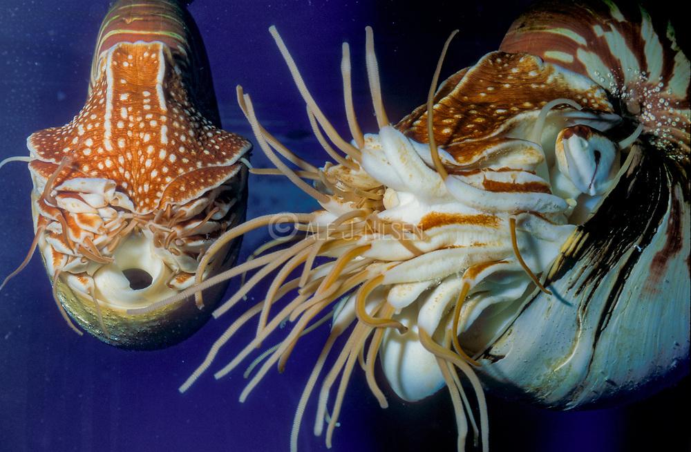 Pearly Nautilus, Nautilus pompilius. Aquariumphoto.