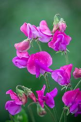 Sweet pea included in bunch but needs to be sent to Seedlynx to check  ID