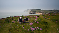 Enjoying the Wild Flower Thrift in bloom on the cliffs at Freshwater Bay, isle of wight
