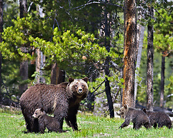 Grizzly  Bear #399 and three cubs, Grand Teton National Park<br /> <br /> Contact for custom print options or inquiries about stock usage  - dh@theholepicture.com