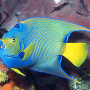 Queen Angelfish inhabit reefs and surrounding areas in Tropical West Atlantic; picture taken Grand Cayman.