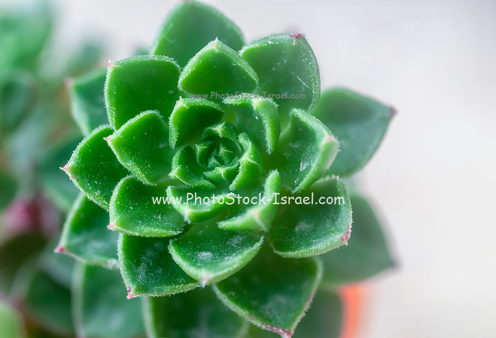 Close up of a Sempervivum also known as a houseleek The characteristic spiral spacing of the leafs can be seen