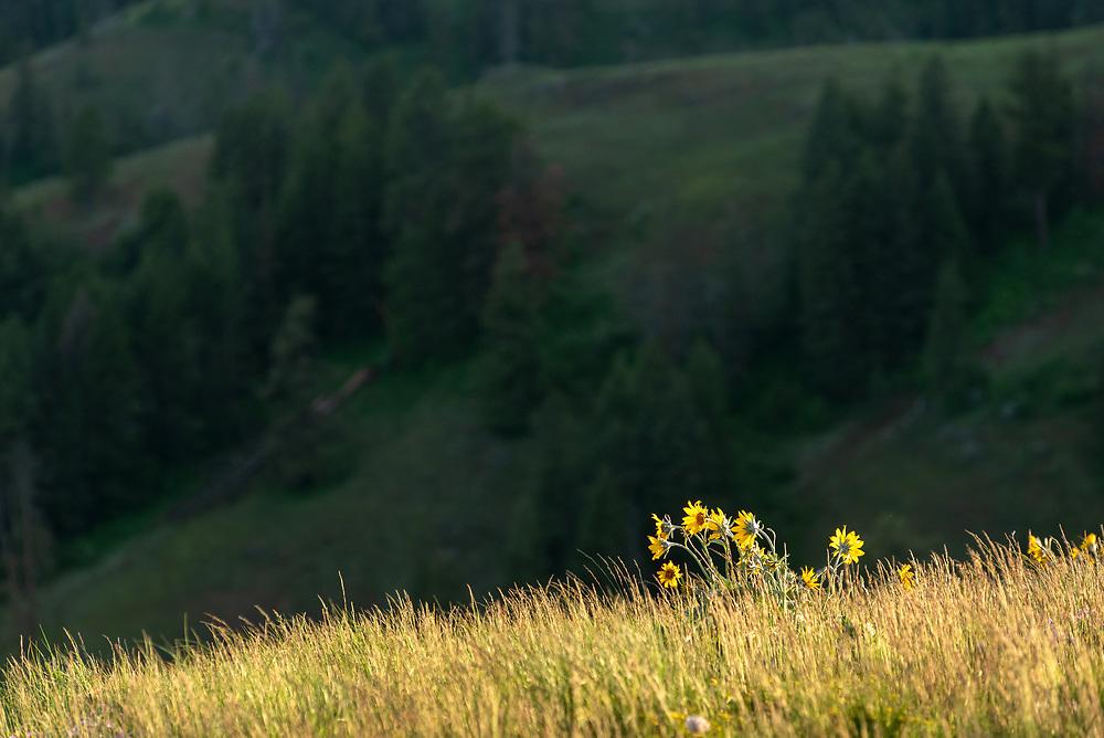 Balsamroot in bloom at Buckhorn Lookout, Hells Canyon National Recreation Area, Oregon.
