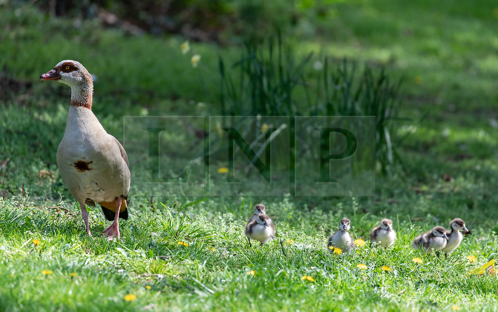 © Licensed to London News Pictures. 10/04/2020. London, UK. A family of geese move away from a main road and on to some grass. A family of Egyptian geese including six chicks caused a bit of a stir in Wandsworth in South London, as they went on a Easter Sunday walk. But their derring escape from nearby Richmond Park possibly breaking lockdown rules was unfortunately foiled by passers-by who tried to help them return to the park and away from the main roads. Photo credit: Alex Lentati/LNP