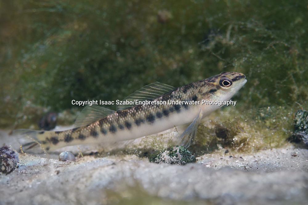 Blackbanded Darter<br /> <br /> Isaac Szabo/Engbretson Underwater Photography