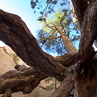 It's unusual to find tall trees in the desert - unless you have perfect conditions thanks to a massive ancient volcano eruption and a perfect mix of water and shade.