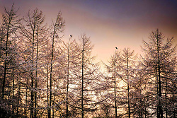 Monday 27th February 2017:  A weak winter sunset behind snow covered larch tress after an unexpected snowfall in South Lanarkshire.<br /> <br /> (c) Andrew Wilson | Edinburgh Elite media
