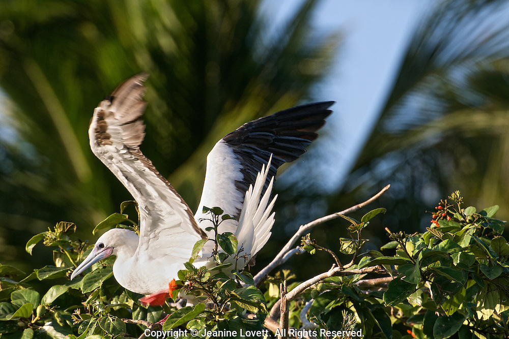 red footed booby bird portrait with motion blur