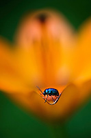 Leaf beetle (Chrysomela sp.) on a Fire Lily (Lilium bulbiferrum)<br /> Triglav National Park, Slovenia<br /> June 2009