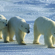 Polar Bear, (Ursus maritimus) Portrait of mother and cubs waiting for Hudson Bay to freeze. Manitoba. Canada.