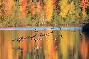 A flock of Bluewinged Teal fly over a reflective pond with vibrant fall colors.