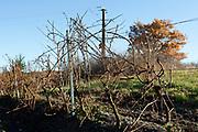 bare vineyard during late autumn season France Languedoc
