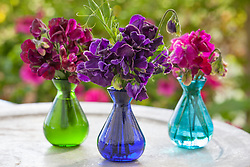 Sweet peas in glass vases. Lathyrus odoratus 'Midnight', 'Hero' and 'Lovejoy'