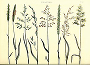 Various Grasses from Vol 1 of the book The universal herbal : or botanical, medical and agricultural dictionary : containing an account of all known plants in the world, arranged according to the Linnean system. Specifying the uses to which they are or may be applied By Thomas Green,  Published in 1816 by Nuttall, Fisher & Co. in Liverpool and Printed at the Caxton Press by H. Fisher