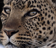 Close-up portrait of a  leopard (Panthera pardus) relaxing in the shade. Serengeti National Park, Tanzania.