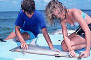 high school students interning in U. Miami / Office of Naval Research joint research program measure a small bonnethead shark, Sphyrna tiburo, Florida Bay, Florida Keys, USA, North America