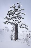 Snow Covered Mountain Hemlock, Heather Meadows Recreation Area, North Cascades Washington