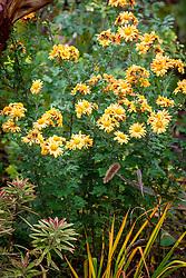 Chrysanthemum 'Goldengreenheart' AGM syn. Chrysanthemum 'Golden Greenheart', Dendranthema 'Goldengreenheart',