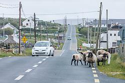 Sheep walking down road, Dooagh, Achill Island, County Mayo, Ireland