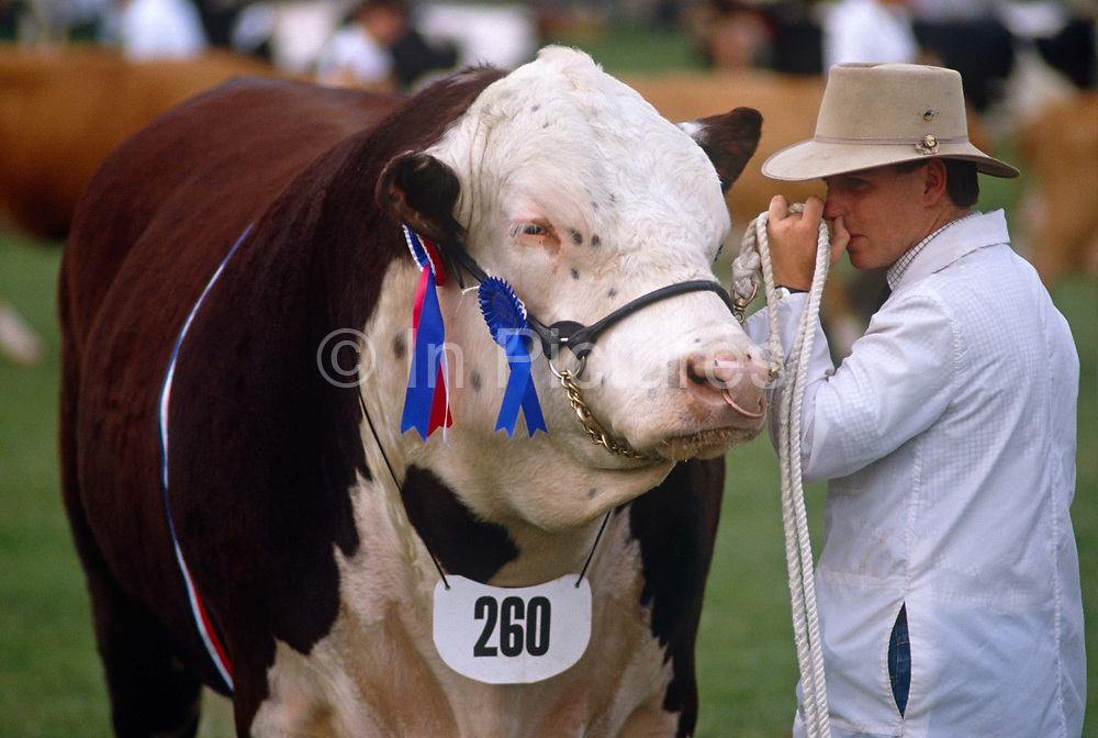 During proceedings at the North Somerset Show, a farmer holds on to his prize bull after judging. This fine animal has gained a First and its rosette is attached to the cheekpiece of his halter. The bull is a Hereford, a breed widely raised mainly for meat production. With its traditional ring piercing its nose, the male is a heavyweight of the cattle kingdom and is a fine specimen that deserves to win his prize. Its value as a sperm donor has now increased considerably. Originally from Herefordshire, England, United Kingdom, more than five million pedigree Hereford Cattle now exist in over 50 countries. The Hereford Cattle export trade began from United Kingdom in 1817. Today, Hereford cattle dominate the world scene from Australasia to the Russian steppes. Hereford Cattle can be found in Israel, Japan and throughout Continental Europe and Scandinavia