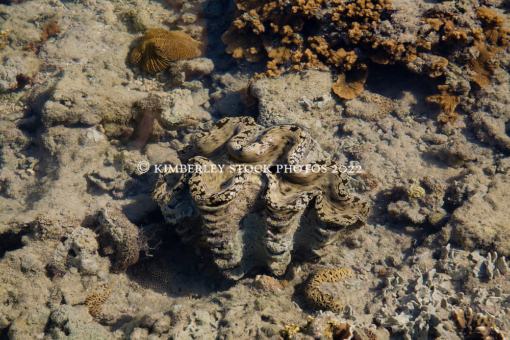 A colourful giant clam on Turtle Reef on the Kimberley coast.