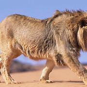 African Lion, (Panthera leo)  Running. Portrait.  Captive Animal.