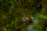Very old and sick female Bornean Orangutan lying on the ground two days before she died.<br /><br /><br />Kristen