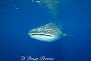 whale shark ( Rhincodon typus ) and snorkelers, Kona Coast of Hawaii Island ( the Big Island ), Hawaiian Islands, USA ( Central Pacific Ocean )